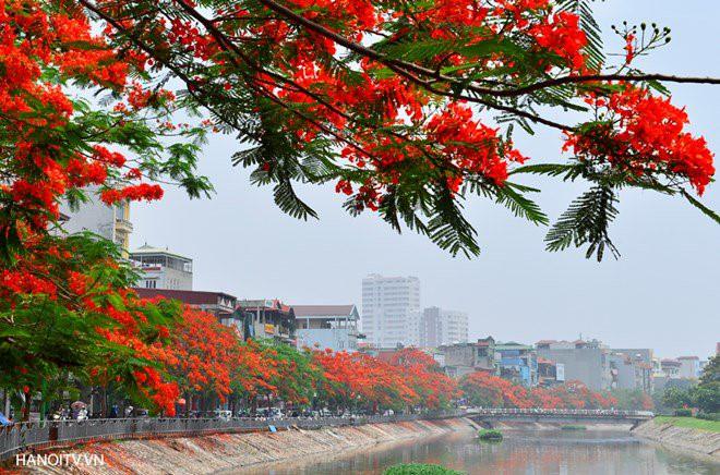 hoa_phuong1